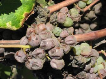 Bordeauxgrape